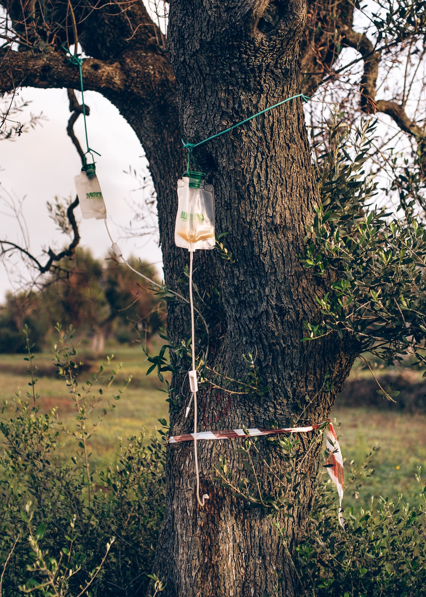 My father is in these trees —The bacterium Xylella Fastidiosa pauca is killing the ancient olive trees in Italy.  It is a disaster in slow motion.