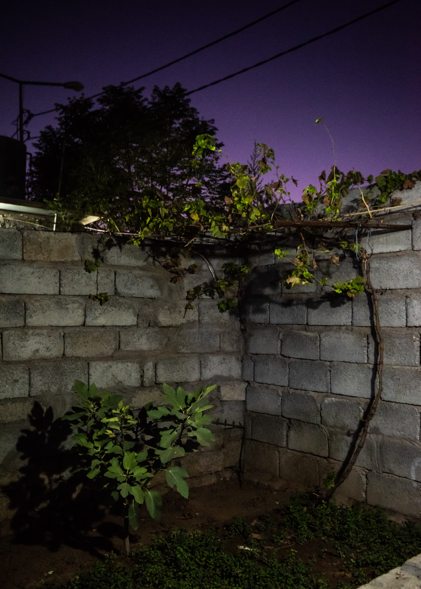 Fig tree and mint in the yard of a refugee home at Gawilan refugee camp, Iraq, Sept 2nd, 2019.