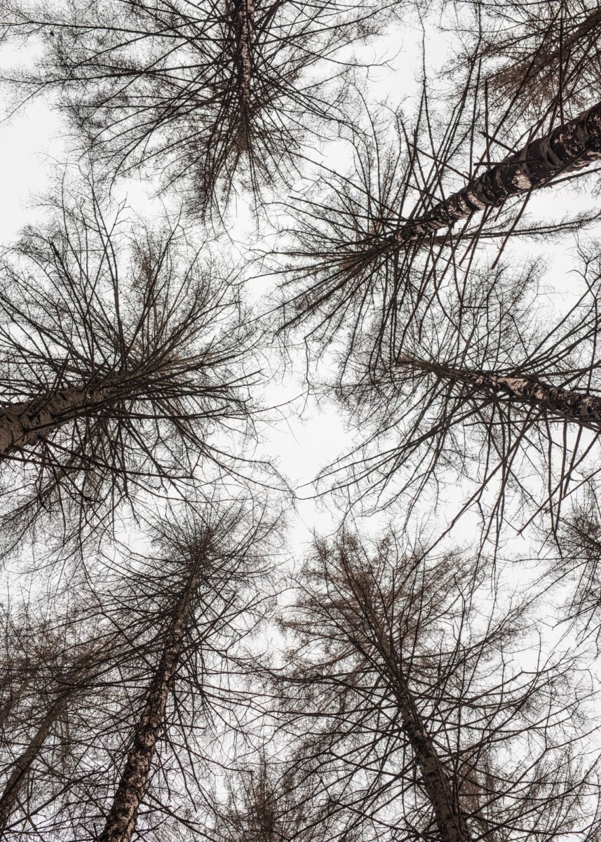 trees damaged by the bark beetle from below